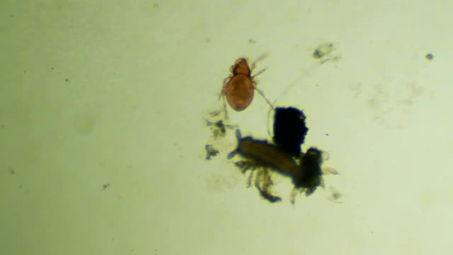 Soil microorganism - mite, soil arthropod video