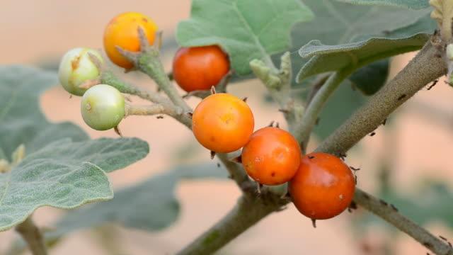 Solanum sanitwongsei and ants video