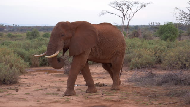 Solitary African Elephant bull roaming Samburu National Park, Kenya