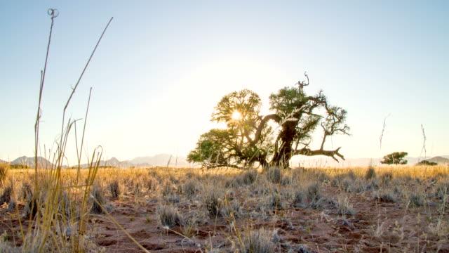 LA DS Solitary Tree In African Savannah video