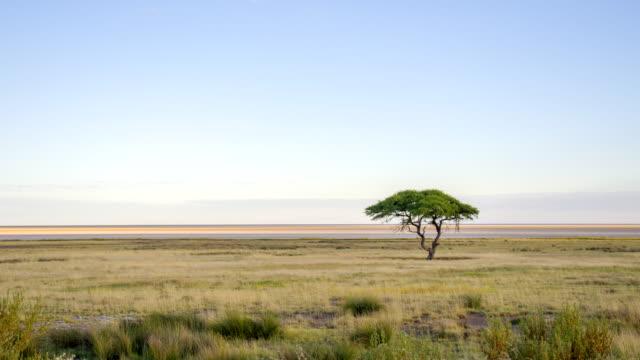 WS Solitary Tree In African Savannah video