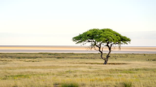 ls solitary tree in african savannah - 簡單 個影片檔及 b 捲影像