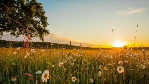 vídeos de stock e filmes b-roll de t / l único árvore no meio de prado ao nascer do sol - cena rural