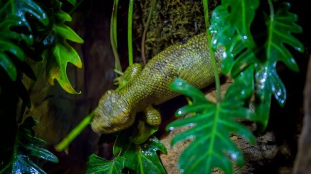 Solomon Island skink Solomon Island monkey-tailed skink reptile skink stock videos & royalty-free footage