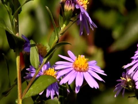 alcuni bees volare su fiori, ntsc - stame video stock e b–roll