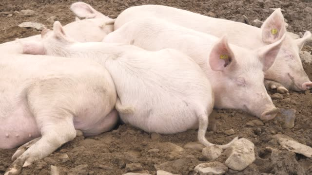 some happy pigs in the mud on the meadow a group of pink pigs pork stock videos & royalty-free footage