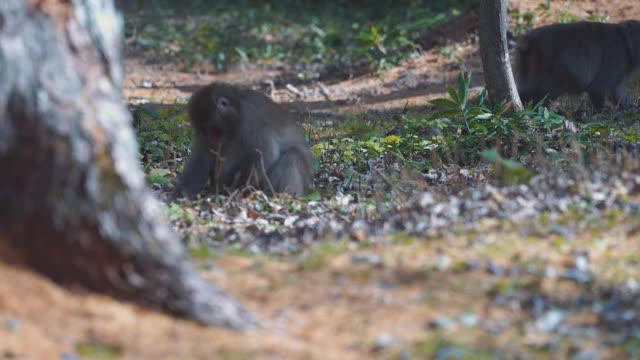 bazı yerde yeşil otlar, japon maymun beslenme - japon makak maymunu stok videoları ve detay görüntü çekimi