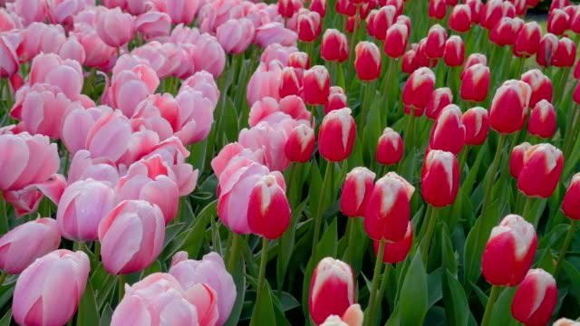 いくつかの庭の多くのカラフルな花 - キューケンホフ公園点の映像素材/bロール