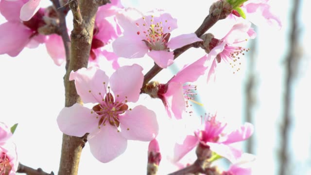 some peach trees in bloom extreme closeup on a tree branch
