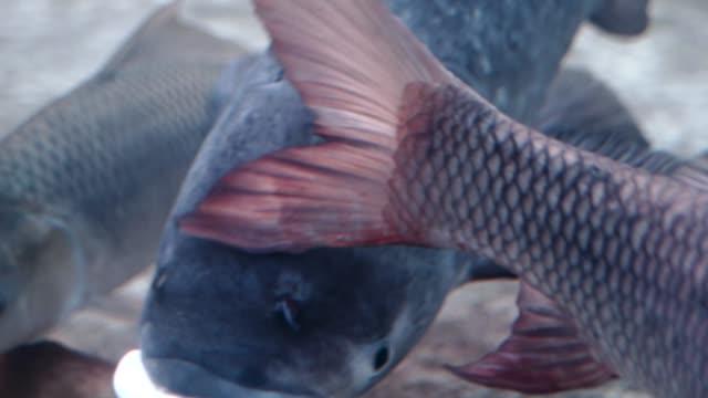 einige schwimmen im aquarienfische - süßwasserfisch stock-videos und b-roll-filmmaterial