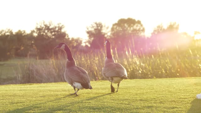 some wild geese in the field during sunset
