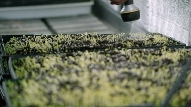 Someone Waters Seedlings A hand sprays seedlings in a tray with water from a sprayer indoors. hydroponics stock videos & royalty-free footage