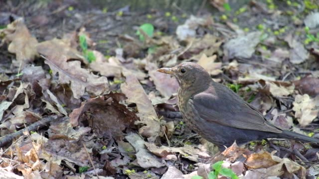 Song thrush closely followed the developments around (Turdus philomelos) video