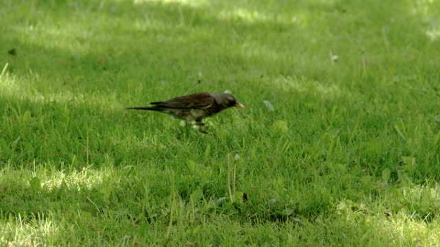 A Song thrush on the grass FS700 Odyssey 7Q video