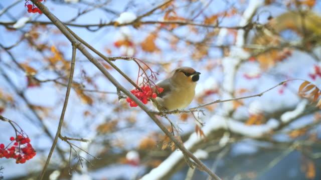 uccello canoro seduto sul ramo dell'albero e mangiare bacche di rowan. - fronda video stock e b–roll
