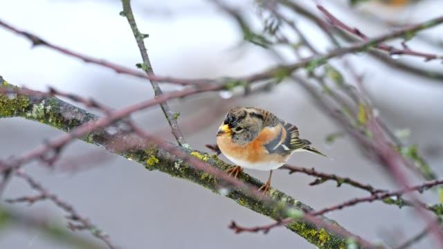 stockvideo's en b-roll-footage met zangvogels op boom in de winter - snavel