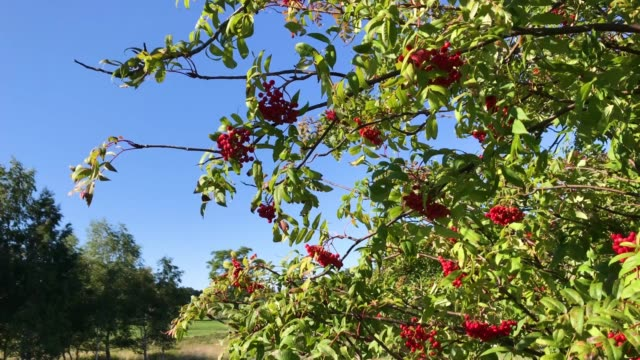 Sorbus commixta, the Japanese rowan is a species of flowering plant in the family Rosaceae, native to Japan.