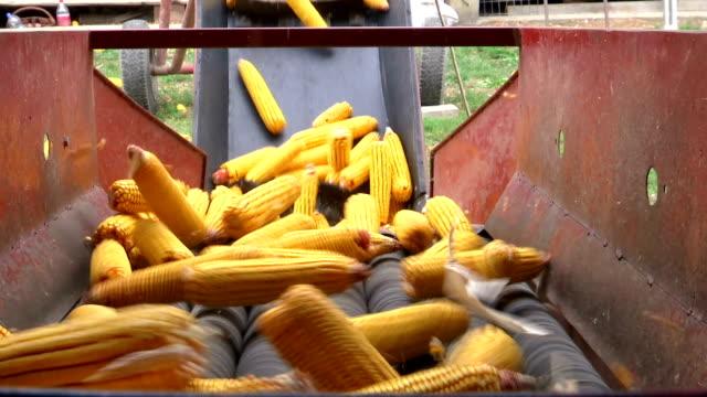 sortering och bearbetning av majs - livsmedelstillverkningsfabrik bildbanksvideor och videomaterial från bakom kulisserna