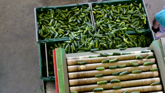 Sorting Cucumbers Into Crates Production line for calibration and processing of cucumbers pickle stock videos & royalty-free footage