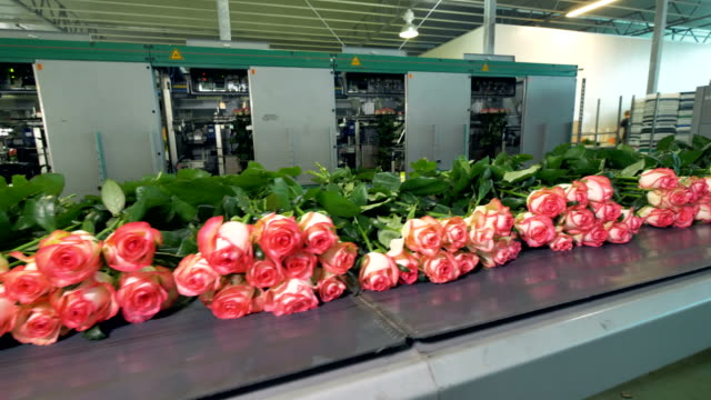 Sorting of roses at flower factory. video