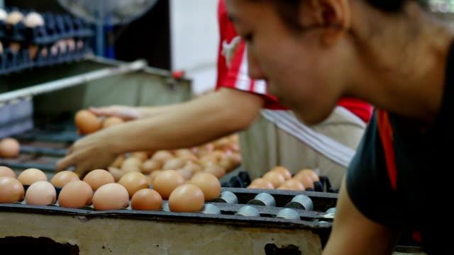 Sorting process in eggs chicken farm video