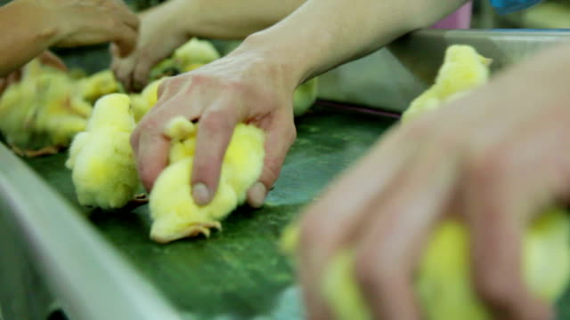 Sorting Small chicks in Factory video