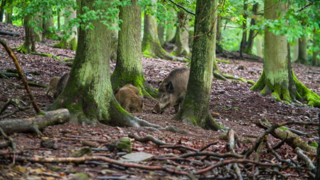 Sounder of of Wild Boars in a Forest video