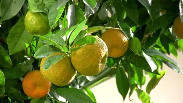 サワーオレンジの木 - 熟していない点の映像素材/bロール
