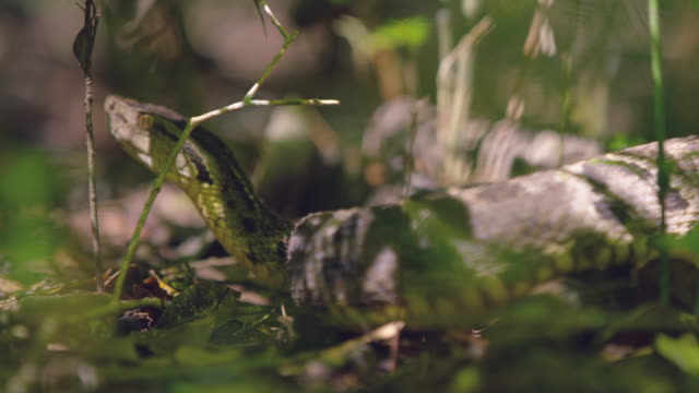 South America poisonous snake, forest darkness Brasil - south america wild animal, RED cinema camera video