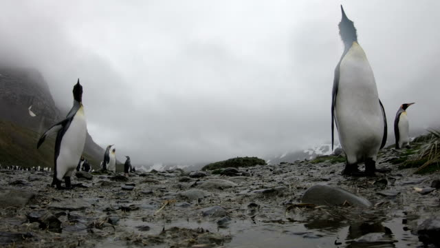 south georgia penguin--king penguin colony - antarctica travel stock videos & royalty-free footage