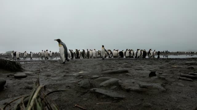 South Georgia Penguin--King Penguin colony
