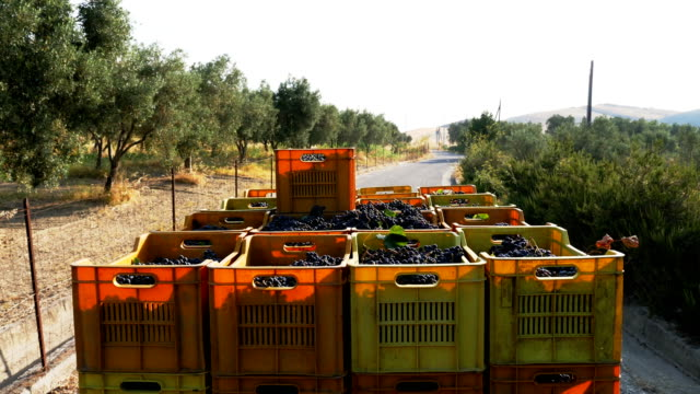 South of Italy: carrying grape 's boxes with little van in vineyard video