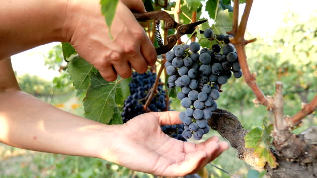 vídeos de stock e filmes b-roll de south of italy: farmer 's hands selecting grapes from a tree during harvest - grapes