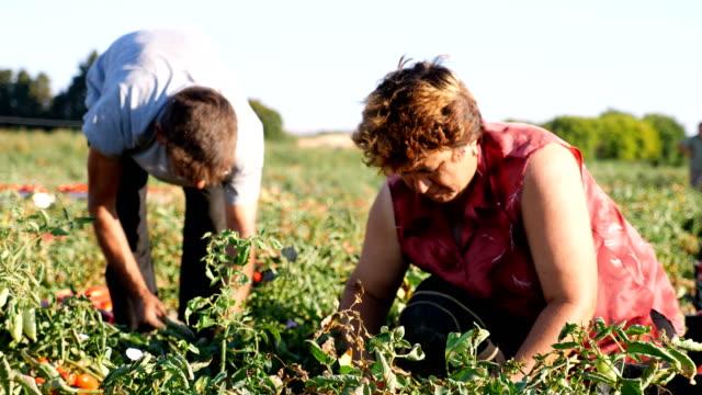 イタリアの南: 農民のフィールドにトマトを選ぶ - 田舎のライフスタイル点の映像素材/bロール