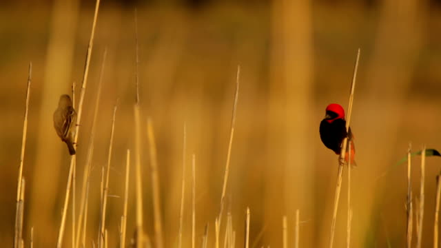 Southern Red Bishop Flying Away video