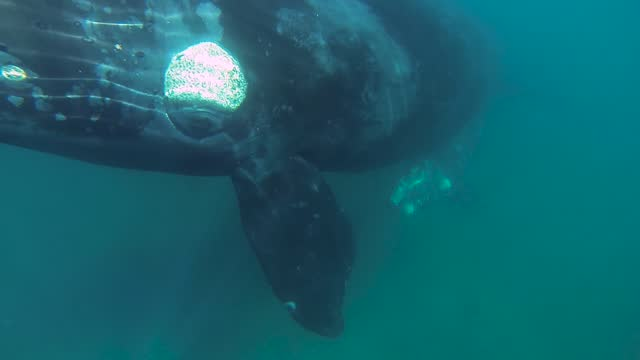 southern right whales  swimming together underwater shot slowmotion