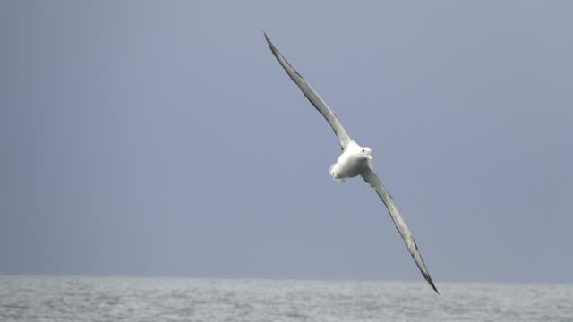 Southern royal albatross flies over Drake Passage off Antarctic Peninsula