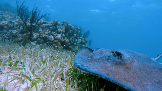 vídeos de stock e filmes b-roll de southern stingray ( dasyatis americana ) in caribbean sea - belize barrier reef / ambergris caye - uge