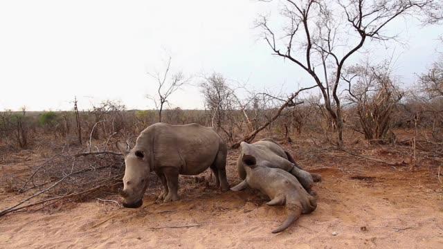 vídeos y material grabado en eventos de stock de rinoceronte blanco del sur en el parque nacional kruger, sudáfrica - organismo vivo