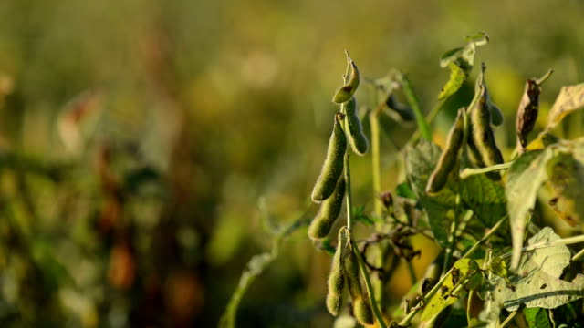 Soy Beans in the Field video