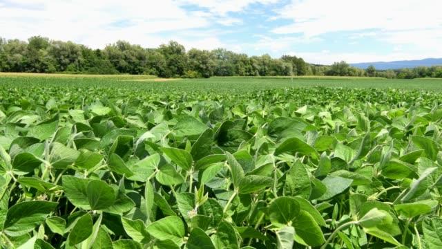 vidéos et rushes de champ de soja et plantes de soja sur une journée ensoleillée lumineuse - plantation