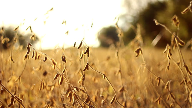 HD DOLLY: Soy Field in Autumn HD 1080p: pull in dolly shot of a field of soy bathed in the autumn sun. monoculture stock videos & royalty-free footage