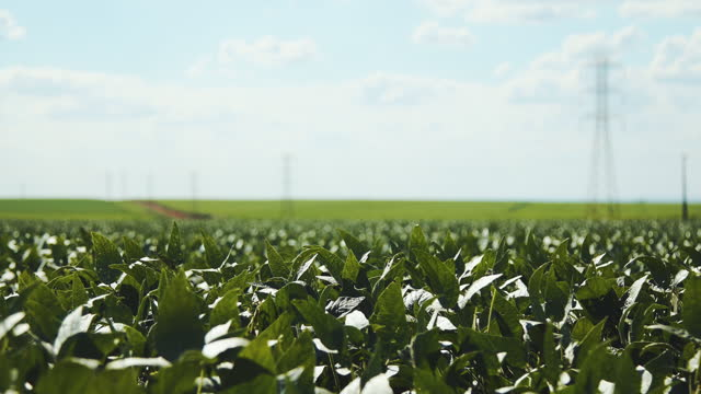 soy plantation with sky on the horizon and macro details video