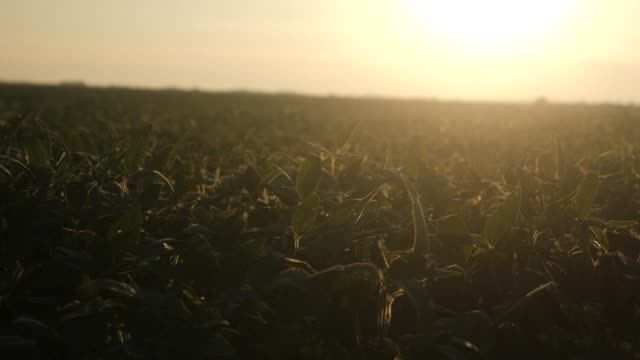 Soy plants in a soybean field on a farm video