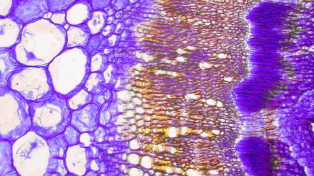 Soy stem micrograph video