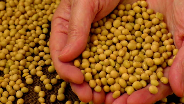 Soybean beans by hand video