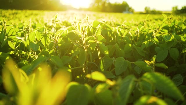 soybean bloom at sunset close up. agricultural soy plantation background - piantagione video stock e b–roll
