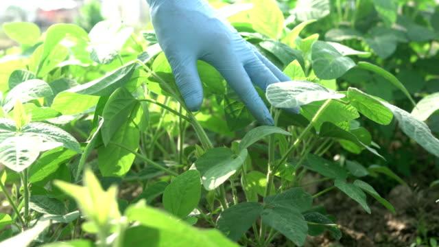 sojabönor som spirande våren i fältet - pea sprouts bildbanksvideor och videomaterial från bakom kulisserna