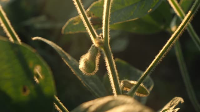Soybean growing on a soy plant video