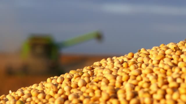 Soybean harvesting in the field. video